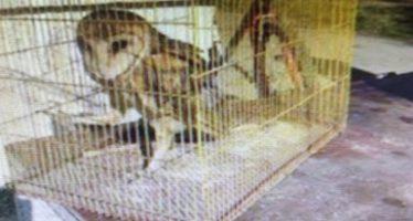 Estudian viabilidad para liberar lechuza de campanario (Tyto alba), asegurada en Saltillo