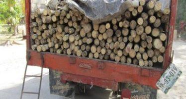 Aseguran 188 piezas de tallos de madera de palma chit (Thrinax radiata) de procedencia ilegal