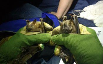 La UNAM y OSC de México, operan para proteger la cueva de la Boca en Nuevo León, un santuario del murciélago Tadarida brasiliensis