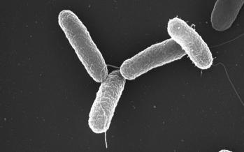 Salmonella enterica, la bacteria que devastó al México colonial