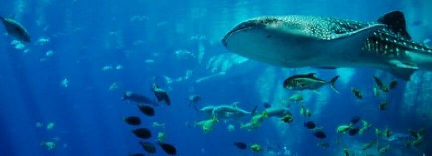 La Semarnat somete a consulta el proyecto de norma para regular observación y nado con tiburón ballena (Rhincodon typus)