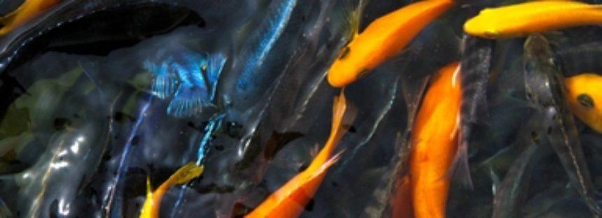 Morelos comercializa 30 millones de peces de ornato anualmente y es líder nacional