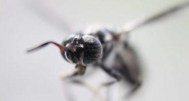Producen en la UAQ larva de mosca soldado para enriquecer comida de aves y peces