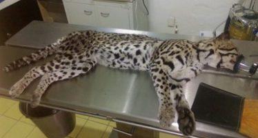 Inconcebible muerte de un ocelote (Leopardus pardalis) por bala y atropellamiento: Manzanillo, Colima