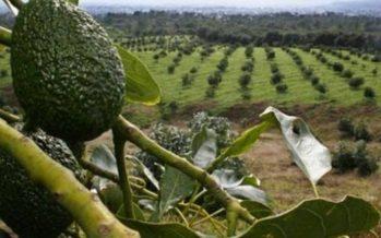 Detectan 3 ha de bosque, alterado por sembradíos aguacate en Zitácuaro, Michoacán