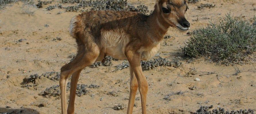 Nacen las primeras crías de berrendo peninsular de 2018