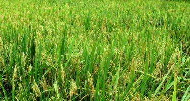 Impulsa Sedrua cultivo de nueva variedad de arroz