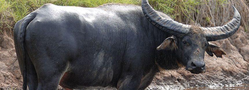 Aseguran 44 búfalos por faltas al trato digno y respetuoso en San Gregorio Atzompa, Puebla