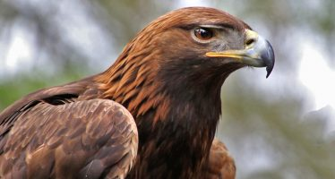 Águila real (Aquila chrysaetos) es una ave de México bien protegida y que contribuye a la estabilidad de ecosistemas
