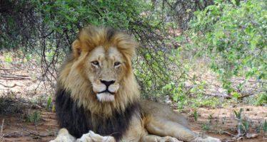 Sudáfrica: una manada de leones se comió a un cazador furtivo
