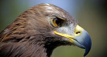 Registran en México, 142 parejas reproductivas de águila real (Aquila chrysaetos); avanza su recuperación