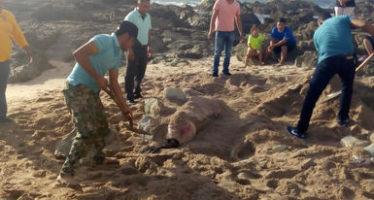 Mueren dos lobos marinos (Zalophus californianus) en playas de Mazatlán, Sinaloa; van nueve en todo 2018
