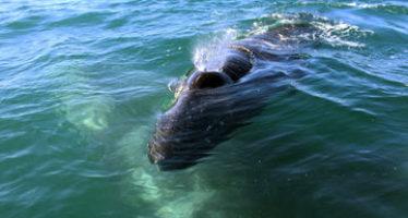 La Reserva de la Biosfera El Vizcaíno, en Baja California Sur, es el principal refugio mundial de la ballena gris (Eschrichtius robustus)