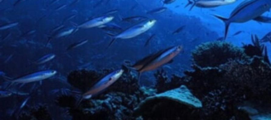 Caracterización genético-poblacional basada en marcadores moleculares tipo microsatélites en la corvina golfina (Cynoscion othonopterus) del alto Golfo de California