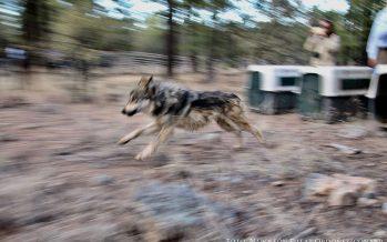 Consistente recuperación de la población de lobos mexicanos silvestres (Canis lupus baileyi); liberan manada Kuetlachtli