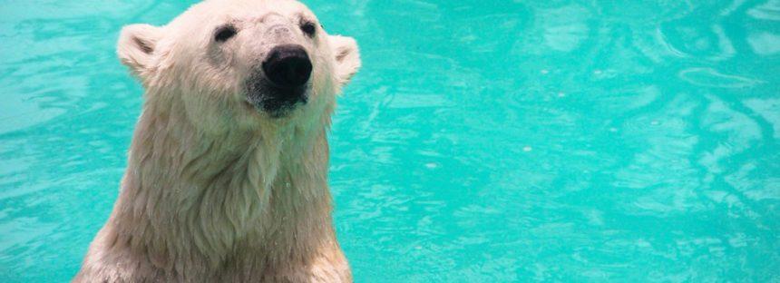 La osa polar Yupik no iría a un santuario de conservación… sería recluida en un zoo privado en Reino Unido: Azcarm