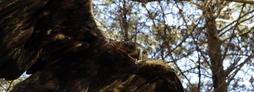 Exitosa rehabilitación de aves de presa en el Centro Nacional del Águila Real