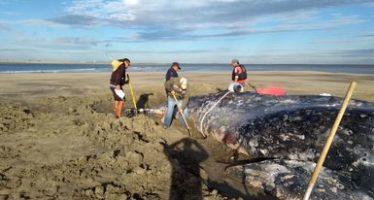 Rescatan con vida una ballena gris (Eschrichtius robustus) varada en un bajo en Comondú, BCS