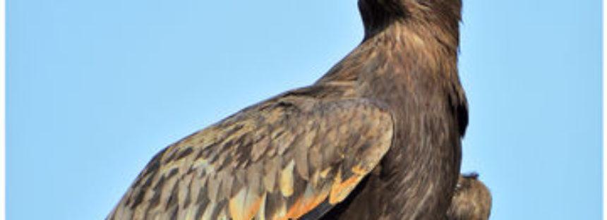 Avistamientos de águila real en Baja California, Zacatecas y Durango; hay 138 sitios de anidación confirmados