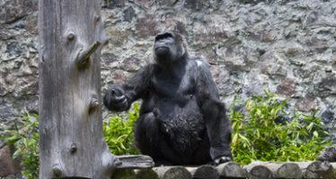Murió Arila, un ejemplar de gorila de llanura recluido desde 1986 en el Parque Ecológico Zacango