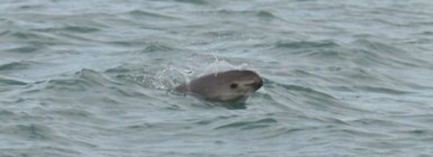 Una vez más rediseñan estrategia para salvar a la vaquita marina (Phocoena sinus)