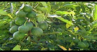 Se suman a la exportación 2 mil 500 hectáreas de aguacate