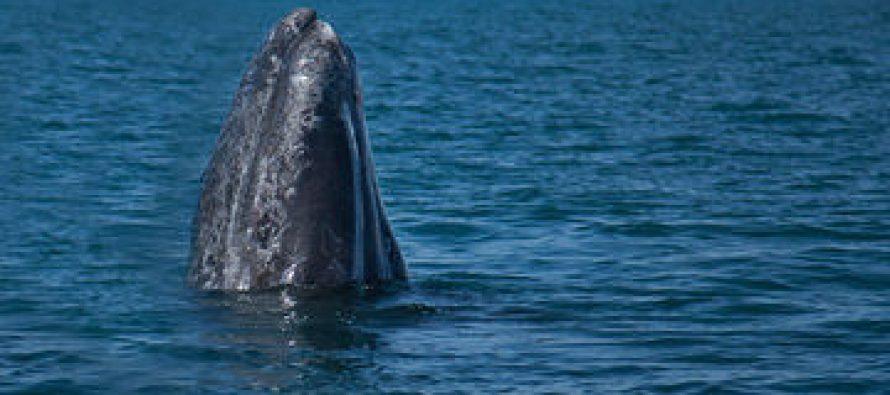 En México, el avistamiento de la ballena gris (Eschrichtius robustus) obliga a cumplir con ciertas reglas para su conservación
