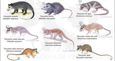 En las redes sociales se dice que en México solo hay una especie de marsupia: el tlacuache.