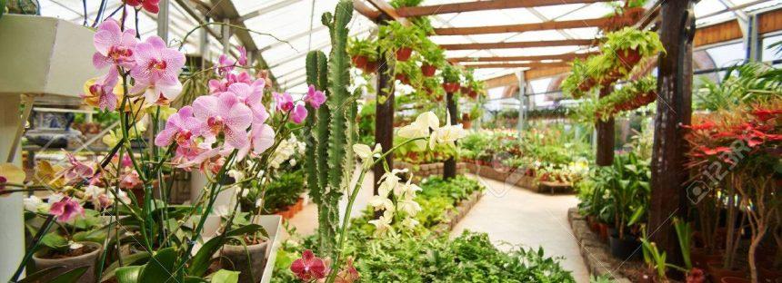 Más de 25 mil orquídeas, listas para ser comercializadas