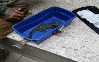 Aseguran cría de Crocodylus moreletii, en caja de plástico en la paquetería de autobuses Primera Plus de Tlaquepaque