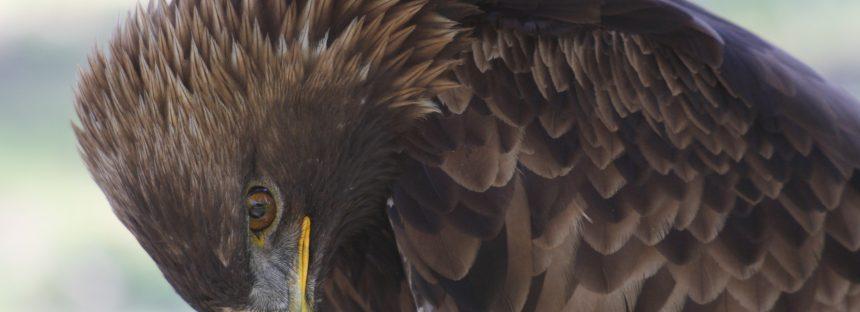 Liberan un águila real (Aquila chrysaetos) rehabilitado, en Sierra de Pajaritos, Nayarit