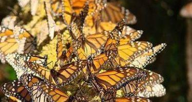 Sostiene el gobierno mexicano que los santuarios de la mariposa monarca están conservados y que se redujo 94% la tala ilegal