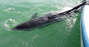 Rescatan dos falsas orcas (Pseudorca crassidens) varadas en la Reserva de la Biosfera Ría Lagartos, en  Yucatán