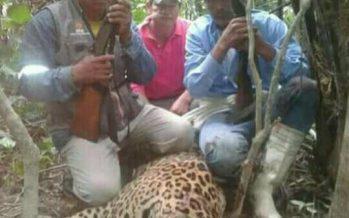 Cazadores furtivos habrían matado un jaguar adulto en Bacalar, Quintana Roo