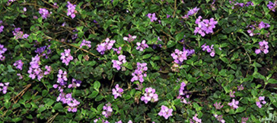 La planta de marzo: Lantana montevidensis