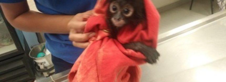 Aseguran cría de mono araña (Ateles geoffroyi), en un restaurant-bar de Mérida, Yucatán