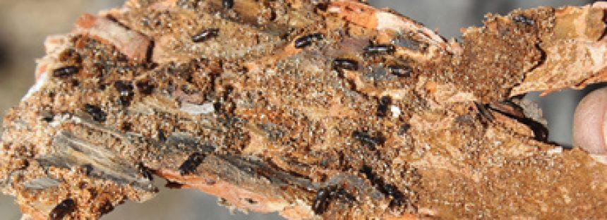 NOM-019-SEMARNAT-2017 para la prevención, combate y control de insectos descortezadores