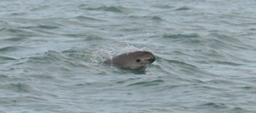 Redoblar esfuerzos para salvar a la vaquita marina