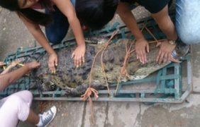Rescatan y reubican 4 ejemplares de cocodrilo (Crocodylus moreletii) en Tabasco