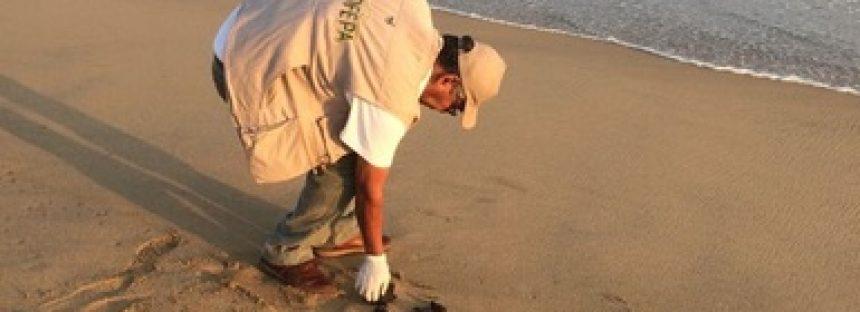 Liberan 20 crías de tortuga golfina (Lepidochelys olivácea) en Acapulco, que estaban abandonadas en una cubeta