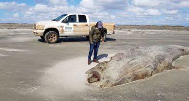 Por causas desconocidas, muere una ballena gris (Eschrichtius robustus) hembra en las costas de San Quintín, Baja California