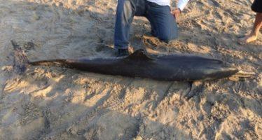 Varan tres ejemplares de delfín nariz de botella juveniles (Tursiops truncatus) en Acapulco; muere uno de ellos