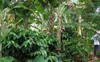La agroforestería brinda sustentabilidad, incremento de productividad y adaptabilidad económica