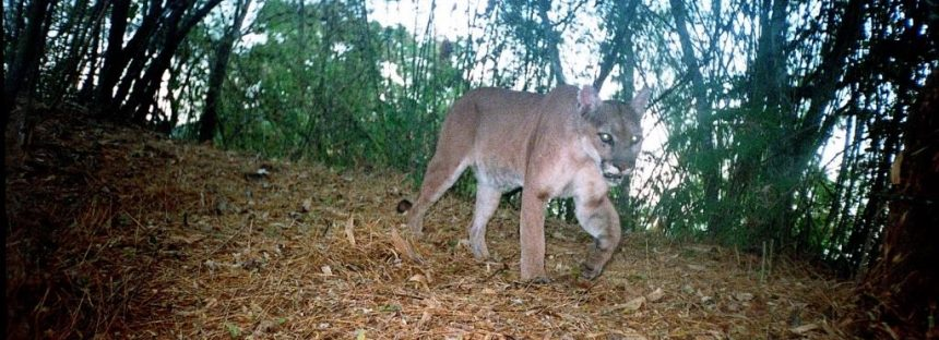 Asigna la CONAFOR 32.8 mdp par conservación de vida silvestre en Jalisco y en especial el hábitat del jaguar