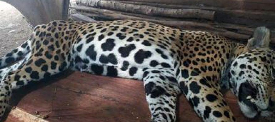 A balazos, asesinan a un jaguar macho en edad reproductiva en Akumal, Quintana Roo
