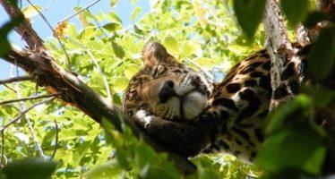México, Belice y Guatemala crearían la primera Área Protegida Trinacional para proteger el jaguar (Panthera onca) y la selva maya