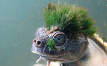 La tortuga de pelo verde entra en la lista de animales en peligro de extinción