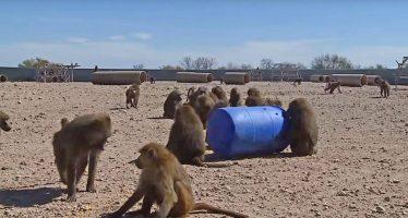 Tres monos se escapan de un laboratorio de investigación en Texas