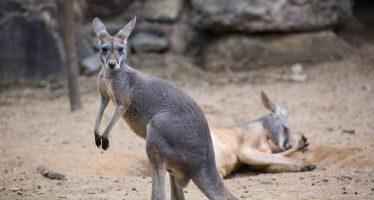 Un canguro muere en un zoo de China tras ser apedreado por el público para que saltara