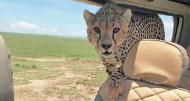 Un guepardo se cuela por sorpresa en un coche de safari en Tanzania